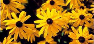Photo of a Black-eyed Susan
