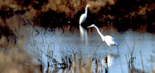 Egrets in water photo