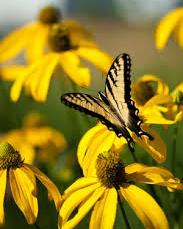 Cutleaf Coneflowers attracting pollinators