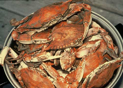 Plate of steamed crabs