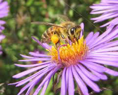 Bee on New England Aster
