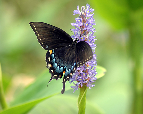 Butterfly on Pontederia cordata/pickerelweed