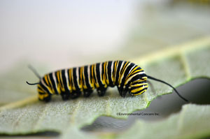 Photo of a Monarch catepillar on a leaf