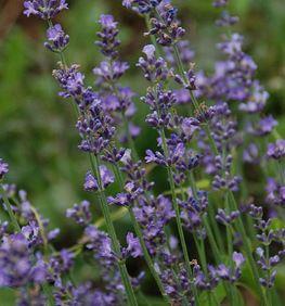 Morning on Soleado Lavender Farm