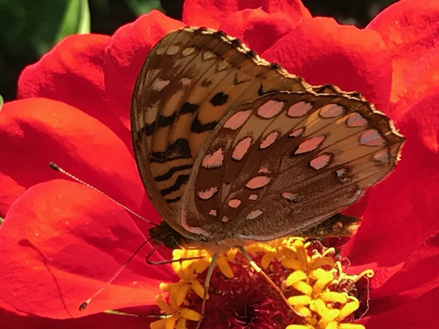 Butterfly on red zinnia