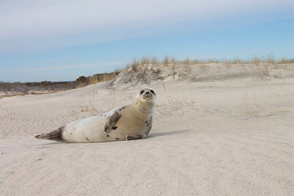 Seal on beach from Natural Wonders of Assateague Island
