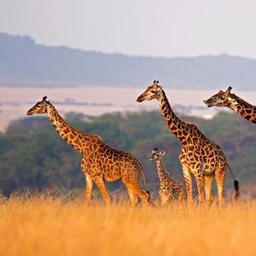 BSO Music Box: On Safari