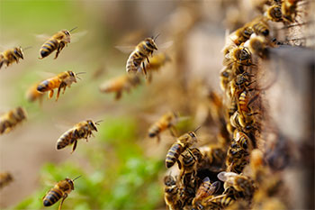 bees landing at the hive