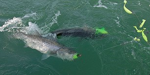 Two fish caught on a fishing line