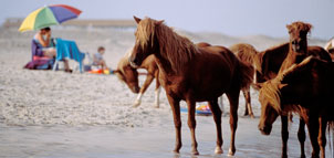 Ponies on the beach at Assateague State Park