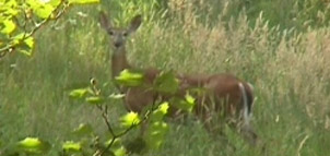 Deer in tall grass photo