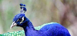 Peacock at the Plumpton Park Zoo