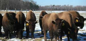 Bison at SB Farms