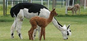Photo Credit: Painted Sky Alpaca Farm