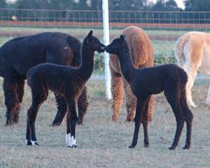 Two cria (alpaca babies) stand nose to nose