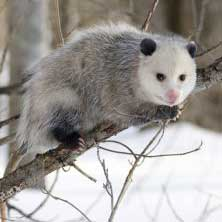 Photo of an Opossum in winter landscapte