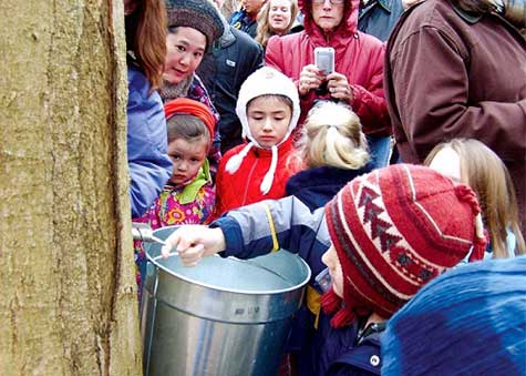 Maple trees being tapped and sap collected.