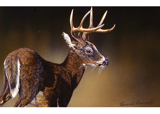 Deer on scratchboard by Carmen Ciancio