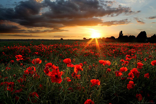 Photo of a sun rising over a field of poppies