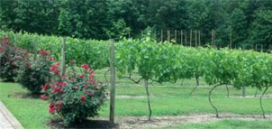 Vineyard on Vino 301 Tour