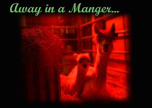 Mom and cria - a baby alpaca - in manger
