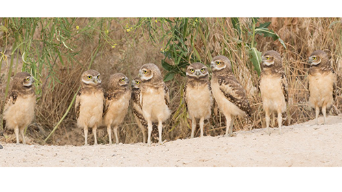 Burrowing owl family photo by Paul Bannick