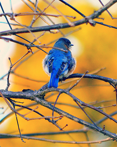 Bluebirds at Piscataway Park