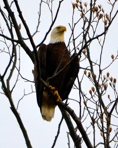 Bald eagle perched in tree at Piscataway Park