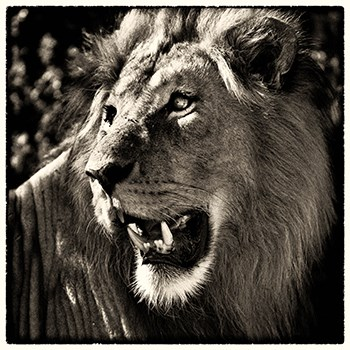 Black and white photograph of a Lion