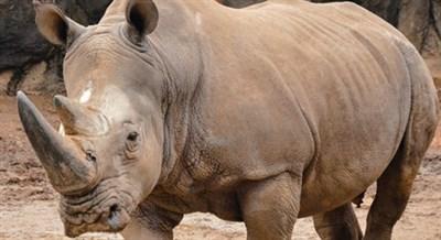 Wild About Rhinos!