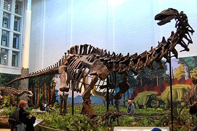 Fossilized dinosaur skeleton.