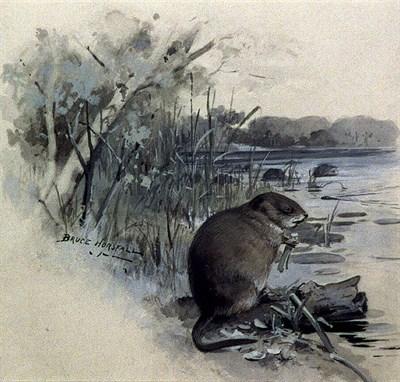 Watercolor sketch of a muskrat