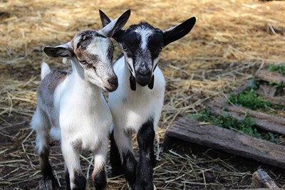 Two goats wait for their yoga class