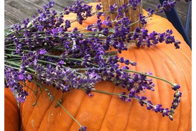 Fall Pumpkin at Soleado Lavender Farm