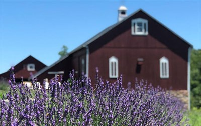 A house with Lavender blooming in front.