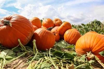 Ripe pumpkins in the field