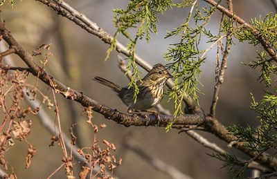 Migrating Lincoln's Sparrow