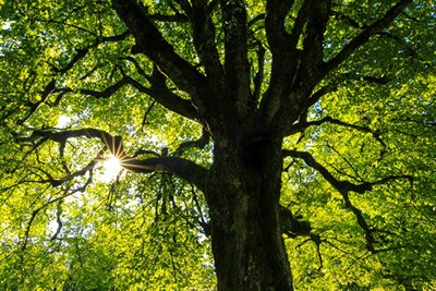 Sun Streaming through a Canopy of Trees