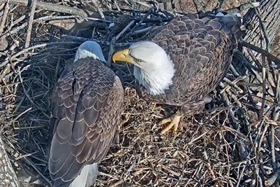 Two American Eagles