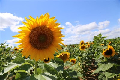 Clarksville Sunflower Field