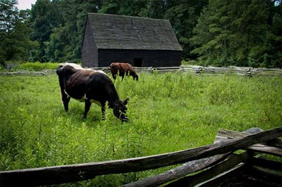 Heritage breed animals at the Godiah Spray Tobacco Plantation