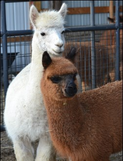 Alpacas at Tag Along Alpacas, LLC