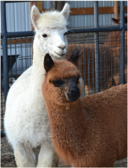 Photo Credit:  Tag ALong Alpacas, LLC