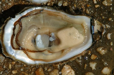 Photo Credit: Horn Point Oyster Hatchery