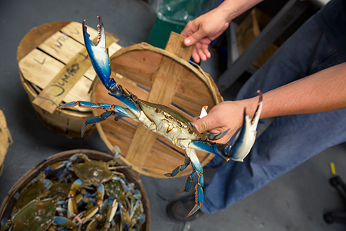 Blue crabs in basket