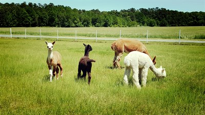 Alpacas located on Outstanding Dreams Farm
